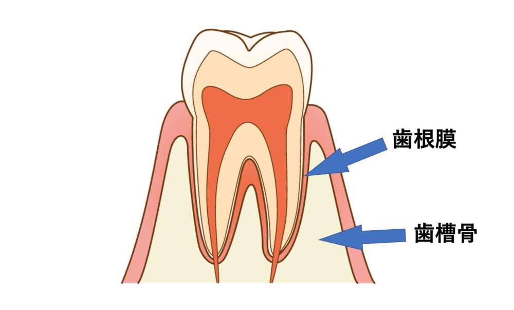 ドクターに聞く歯列矯正|なかなか歯が動かない「アンキローシス」って何?